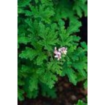 Rose Geranium 12ml